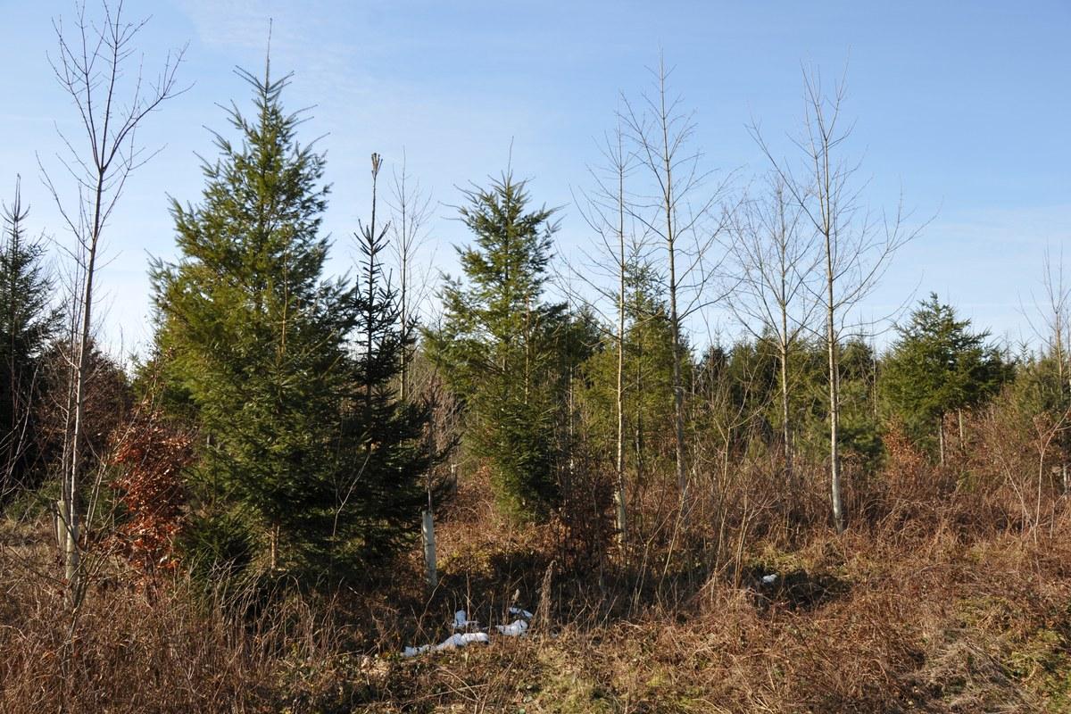 douglasienmischwald.jpg. Vergrösserte Ansicht