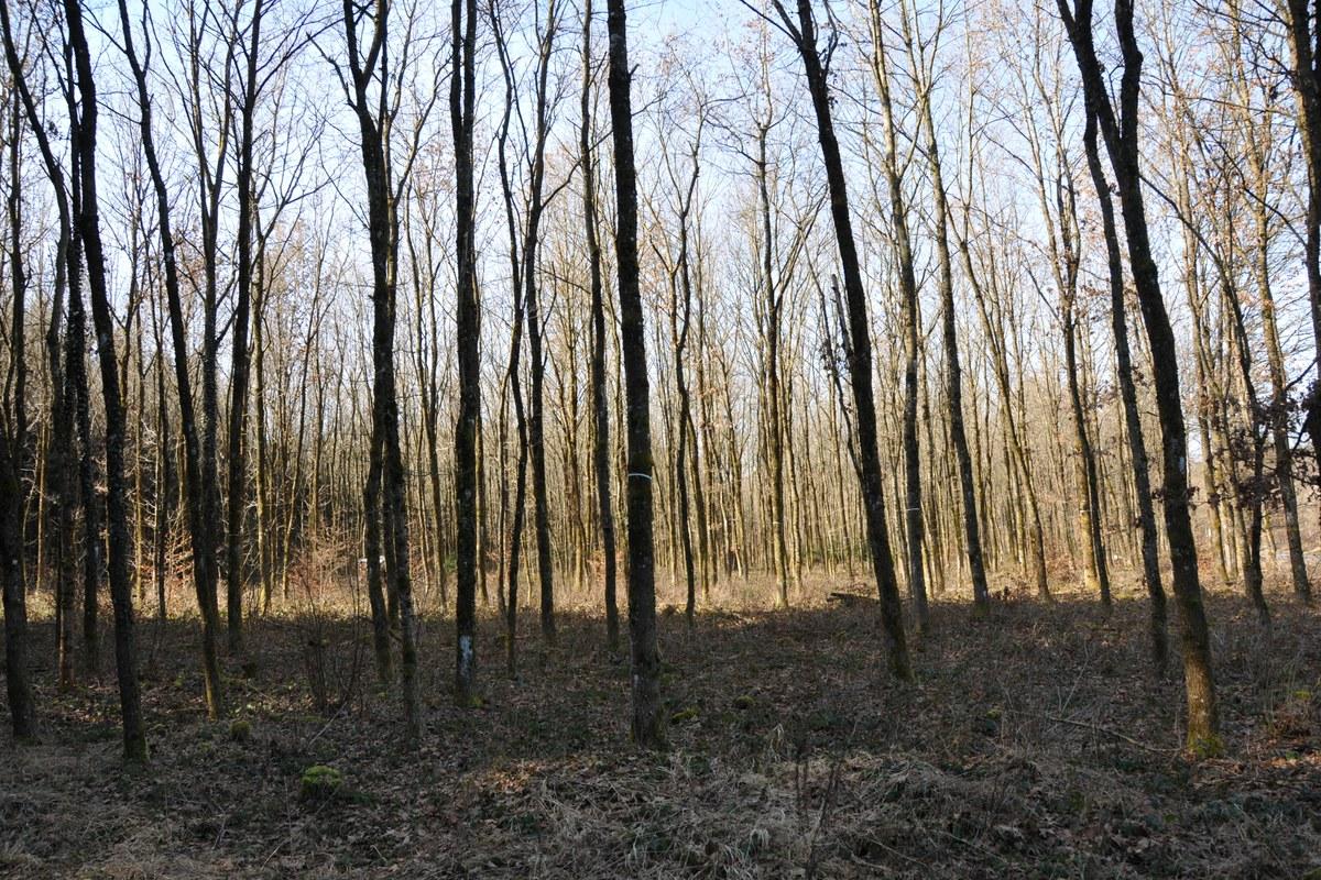 eichen-lotharwald.jpg. Vergrösserte Ansicht