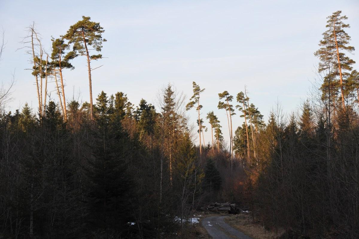 fohren-mischwald.jpg. Vergrösserte Ansicht