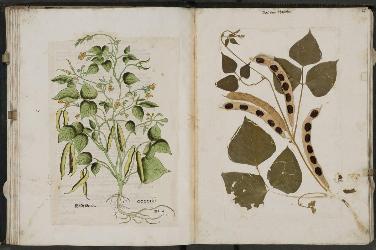 phascolus-vulgaris.jpg. Vergrösserte Ansicht