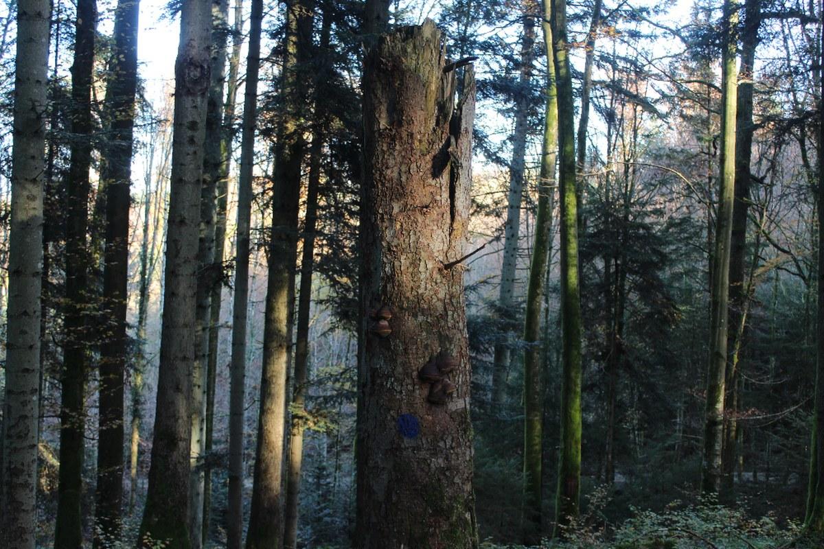 biotopbaum.jpg. Vergrösserte Ansicht